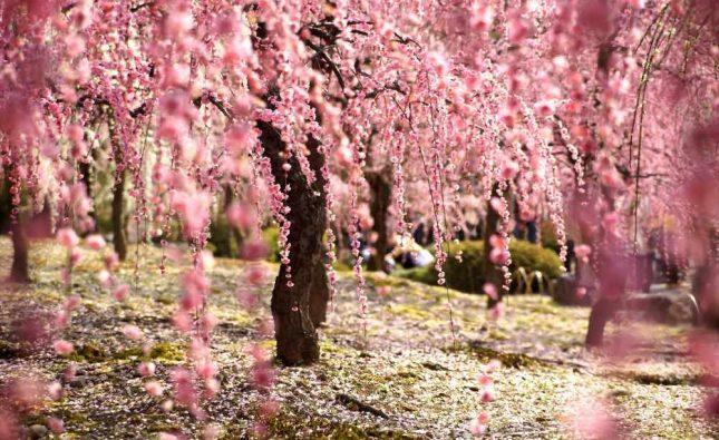 فستیوال های بهاره ژاپن