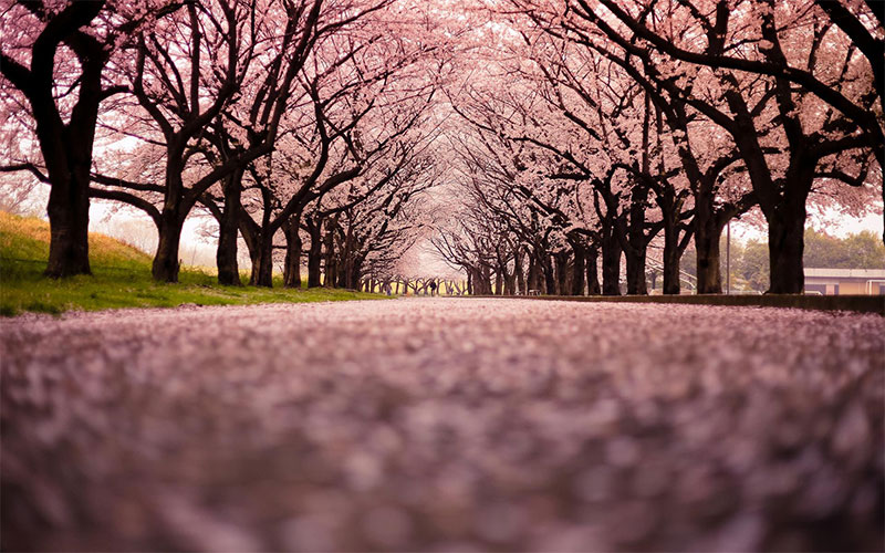 جشنواره شکوفه گیلاس
