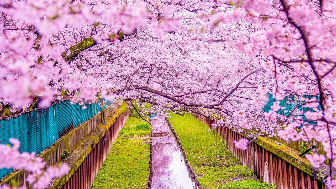 جشنواره شکوفه گیلاس یا هانامی