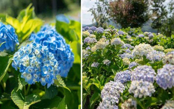 رکوردشکنی ژاپن با باغی از گل های ادریس