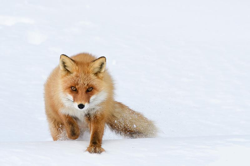 روباه قرمز هوکایدو