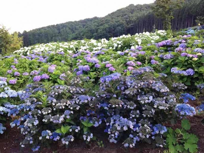گل های ادریس در ژاپن