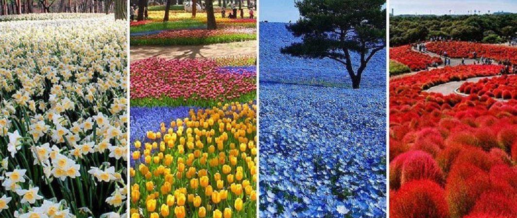 پارک هیتاچی – بهشتی از گل های رنگارنگ