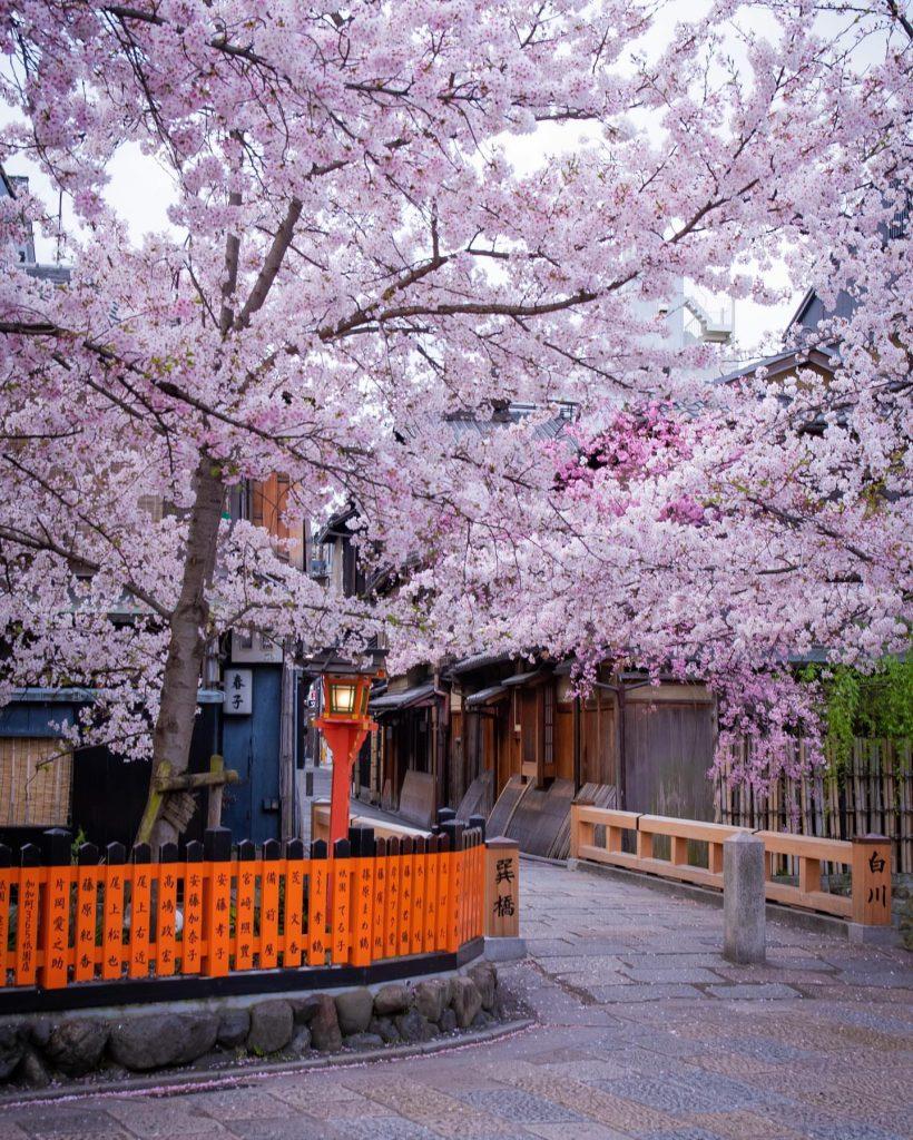 درخت ساکورا ژاپن