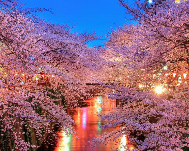 o_hanami_blossom_sakura_japan_93606_1920x1080